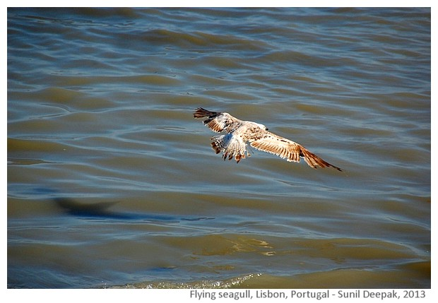 Seagull's flight, Lisbon, Portugal - images by Sunil Deepak, 2013