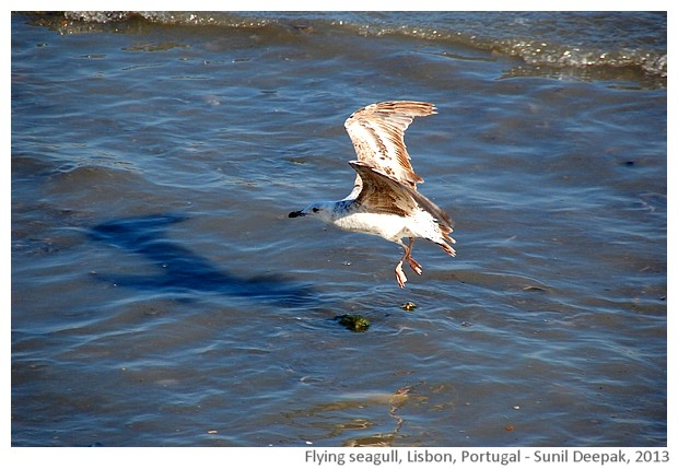 Seagull's flight, Lisbon, Portugal - images by Sunil Deepak, 2013
