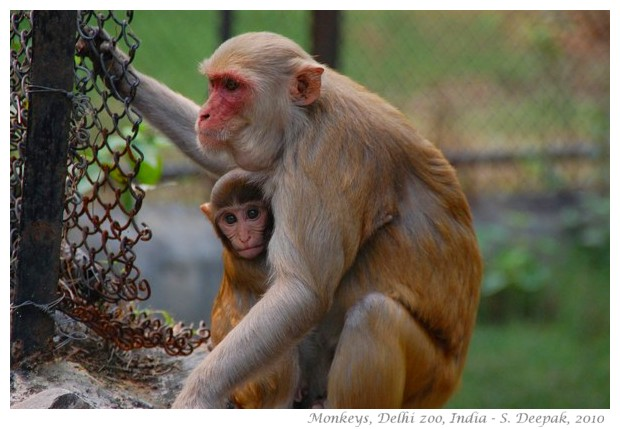 Mother and baby monkey, Delhi zoo - images by S. Deepak