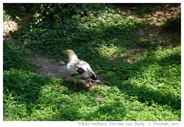 Mountain Vultures, Verona zoo - images by S. Deepak