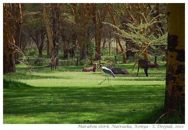 Marabou stork, Kenya - S. Deepak, 2012