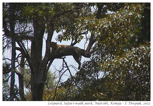 Safariwalk zoo, leopard, Nairobi Kenya - S. Deepak, 2012