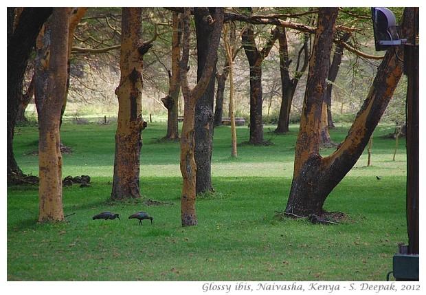 Glossy ibis, Naivasha, Kenya - S. Deepak, 2012
