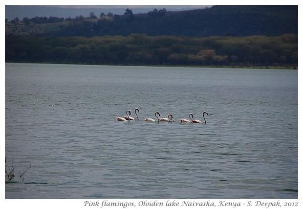 Lesser flamingos, Naivasha, Kenya - S. Deepak, 2012