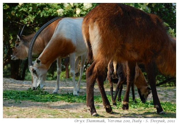 Oryx Dammah, Verona zoo, Italy - images by S. Deepak