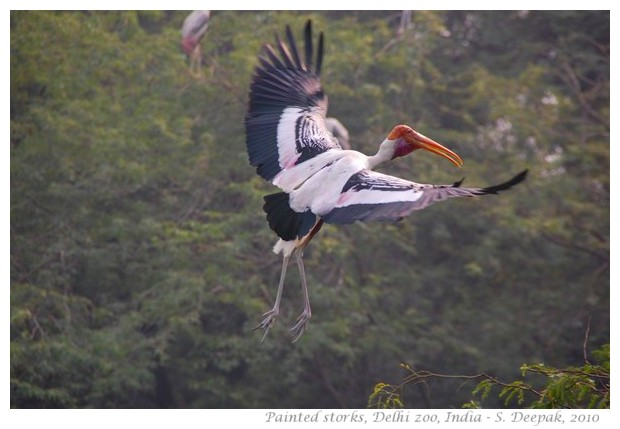 Painted storks, Delhi zoo India - images by S. Deepak