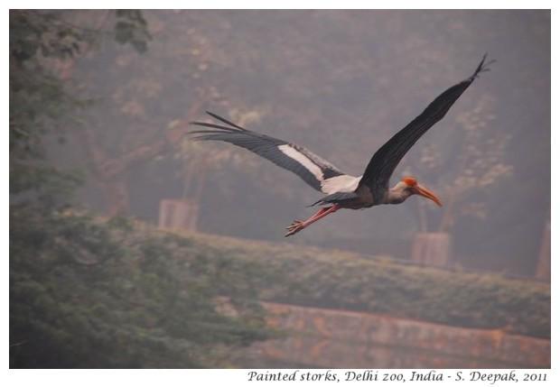 Painted storks, Delhi zoo, India - S. Deepak, 2011