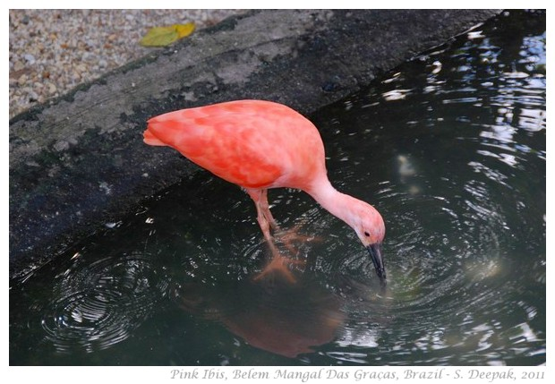 Pink ibis, Belem Para, Brazil - S. Deepak, 2011