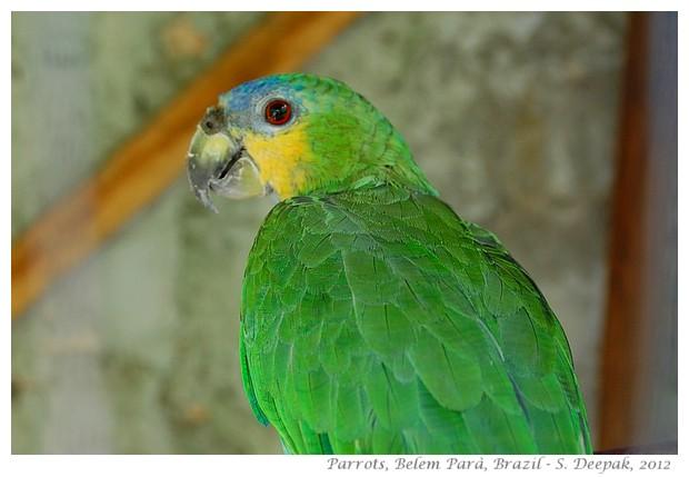 Parrots in Parà state, Brazil - S. Deepak, 2012