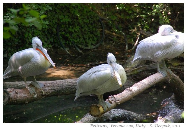 Pelicans, Verona zoo Italy - images by S. Deepak