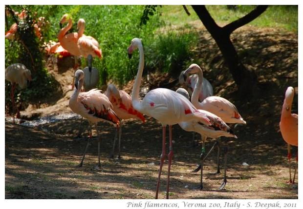 Pink flamingo, Verona zoo, Italy - images by S. Deepak, 2011
