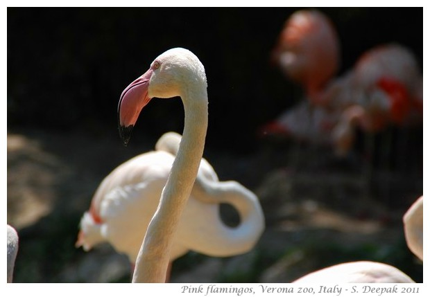 Pink flamingos, Verona zoo, Italy - images by S. Deepak, 2011