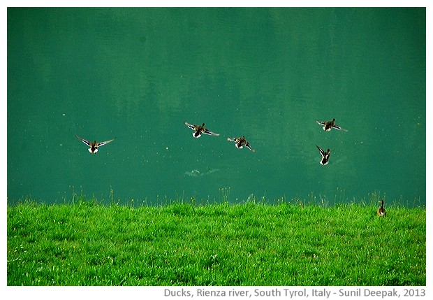 Ducks in Rienza river, South Tyrol, Italy - images by Sunil Deepak, 2013