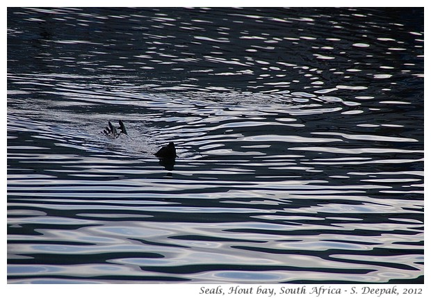 Fur seals, Hout Bay, South Africa - S. Deepak, 2012
