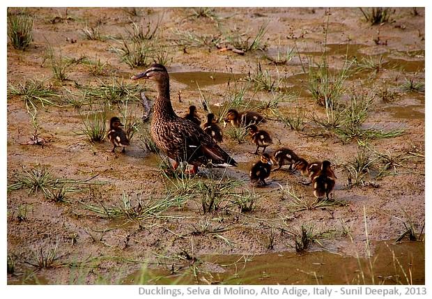 Ducklings, Selva di Molino, Alto Adige, Italy - images by Sunil Deepak, 2013