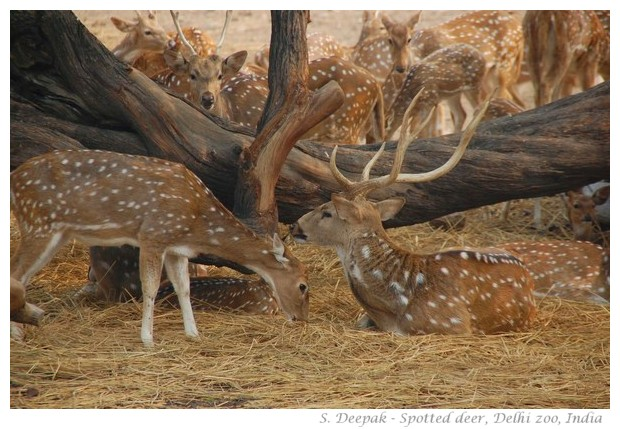 Spotted deer in Delhi zoo, India