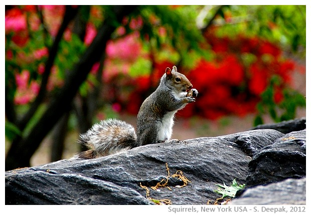 Squirrel, central park, New York, USA - S. Deepak, 2012