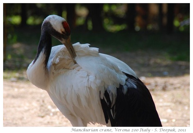 Manchurian crane from China - Image by S. Deepak