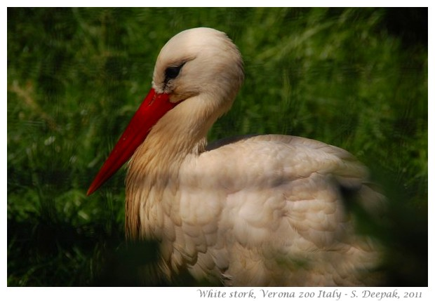 White stork from Italy - Image by S. Deepak