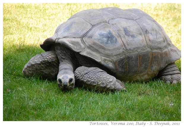Tortoises, Verona zoo, Italy - images by S. Deepak