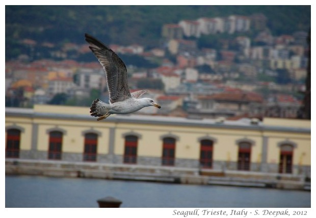 Seagulls, Trieste Italy - S. Deepak, 2012