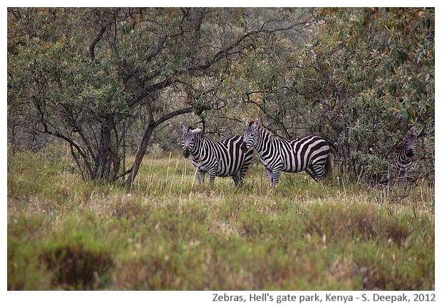 Two zebras, Kenya - S. Deepak, 2012