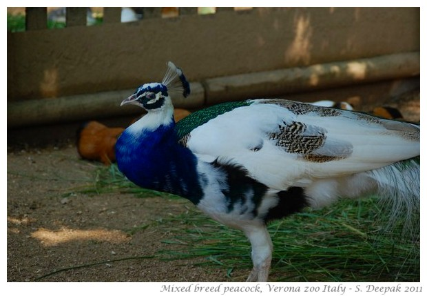 Blue and white peacock, Verona zoo Italy - Images by S. Deepak
