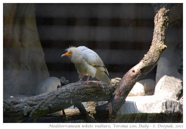 Mediterranean white vulture, Verona zoo, Italy - images by S. Deepak