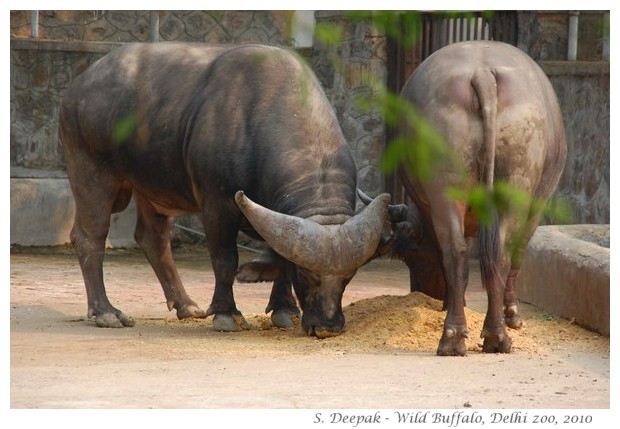 Wild buffaloes, Delhi zoo, India