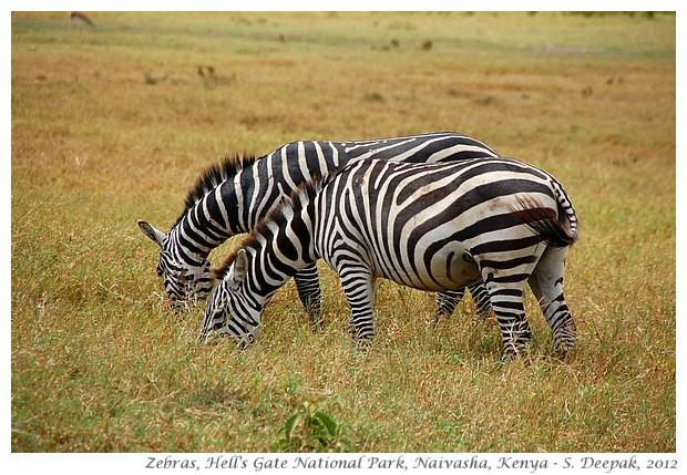 Zebras, Hell's Gate park, Naivasha, Kenya - S. Deepak, 2012