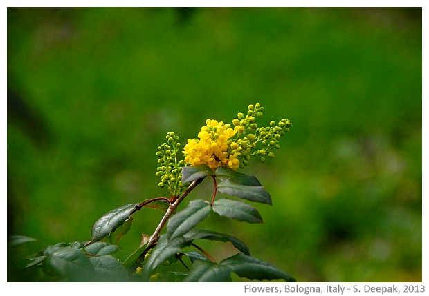 Green & yellow, flower, Bologna, Italy - S. Deepak, 2013