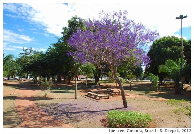 Ipé tree, Goiania, Brazil