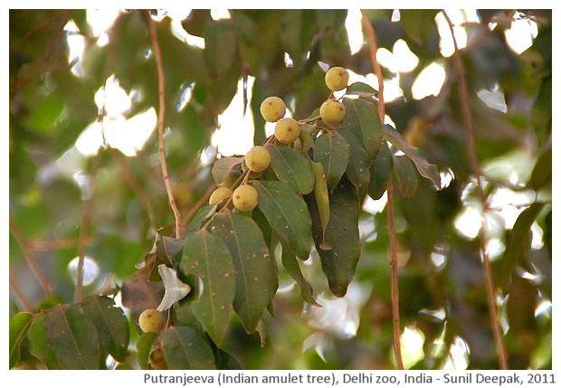 Indian trees - Putranjeeva, Delhi, India, images by Sunil Deepak, 2011