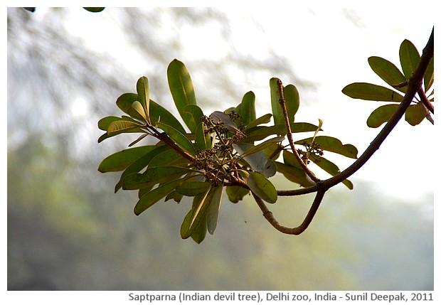 Indian trees - Saptparna, Delhi, India, images by Sunil Deepak, 2011