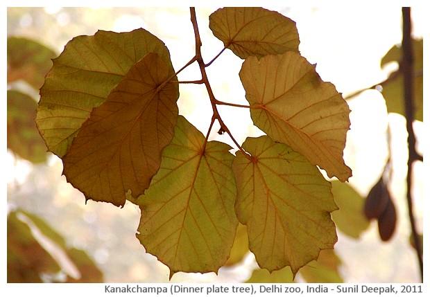 Indian trees - Kanakchampa, Delhi, India, images by Sunil Deepak, 2011