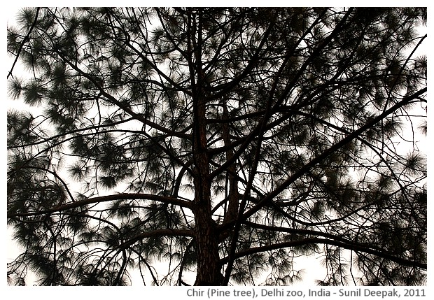 Indian trees - Chir, Delhi, India, images by Sunil Deepak, 2011