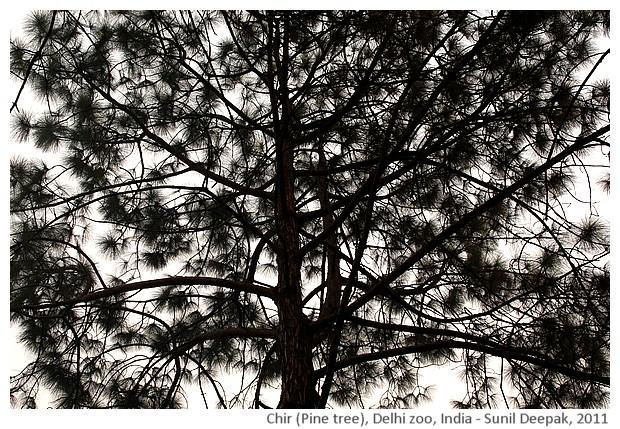 Indian trees - Chir, Delhi, India, images by Sunil Deepak, 2011