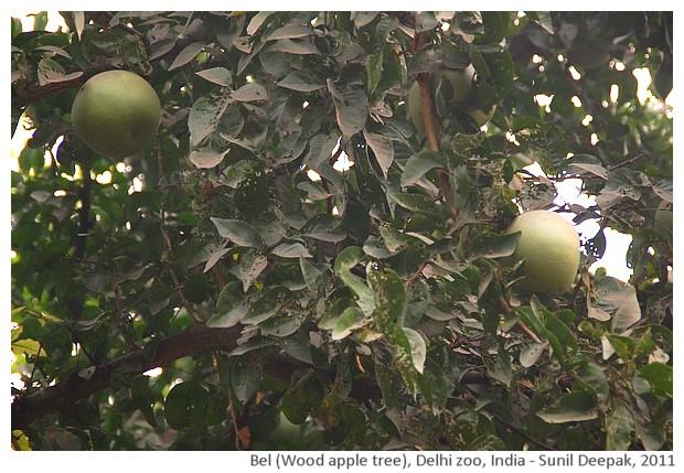 Indian trees - Bel, Delhi, India, images by Sunil Deepak, 2011