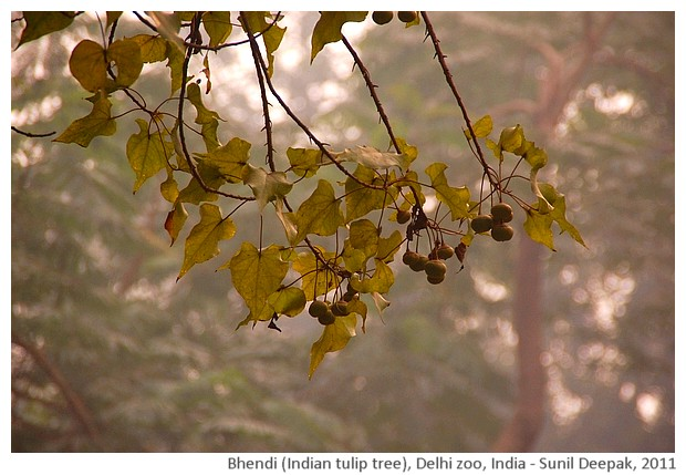 Indian trees - Indian tulip tree, Delhi, India, images by Sunil Deepak, 2011