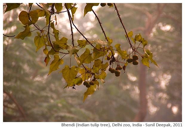 Indian trees - Indian tulip tree, Delhi, India, images by Sunil Deepak, 2011