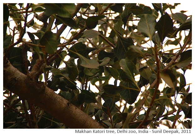 Indian trees - Makhan Katori, Delhi, India, images by Sunil Deepak, 2011