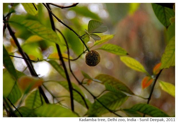 Indian trees - Kadamba, Delhi, India, images by Sunil Deepak, 2011