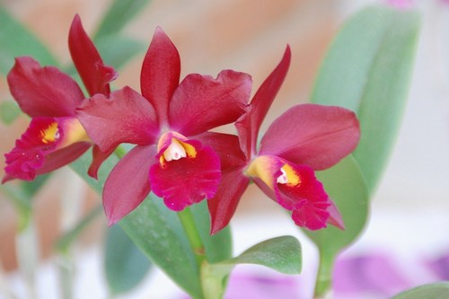 Beautiful orchids - free wallpapers by Sunil Deepak