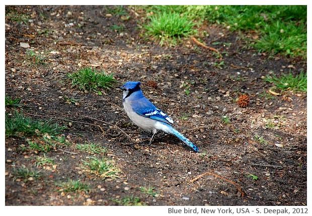 Blue bird, New York, USA - S. Deepak, 2012