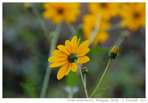 Bologna Wild sun flowers - S. Deepak 2011