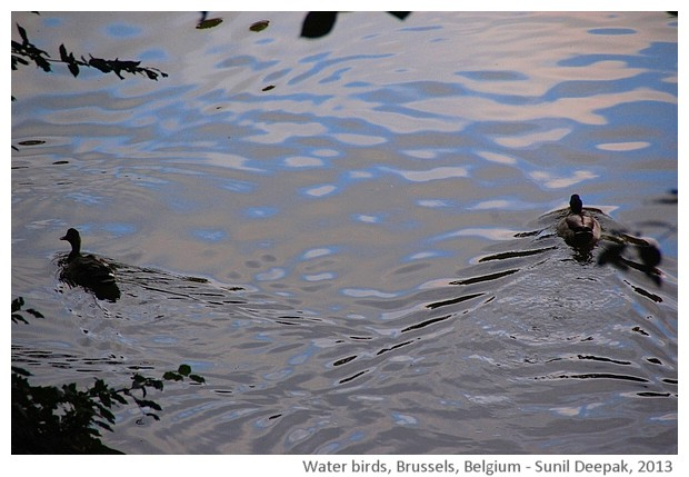 Waterbirds in lake, Brussels, Belgium - images by Sunil Deepak, 2013