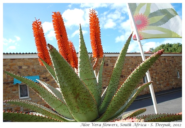 Aloe Vera flower species, South Africa - S. Deepak, 2012