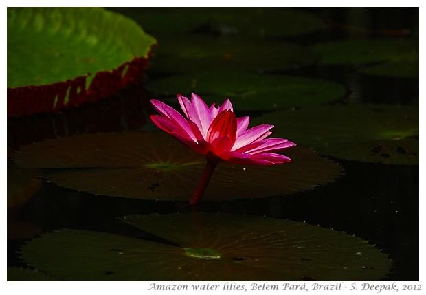 Amazon water lilies, Belem, Parà, Brazil - S. Deepak, 2012