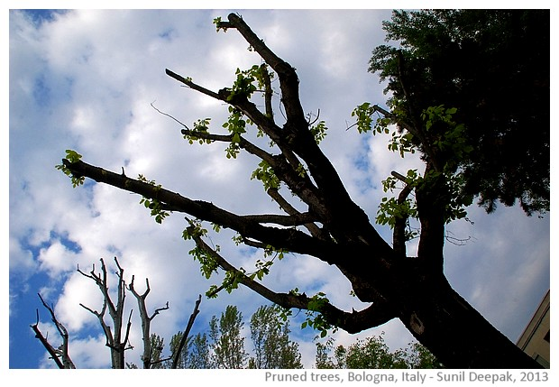 Pruned trees, Bologna, Italy - images by Sunil Deepak, 2013