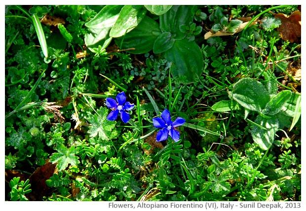 Gentian Blue & other flowers, Italy - Sunil Deepak, 2013